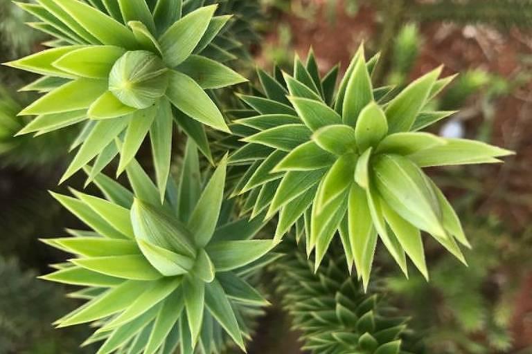 Brotos jovens da araucária são comestíveis, retirando-se as folhas externas, mais duras