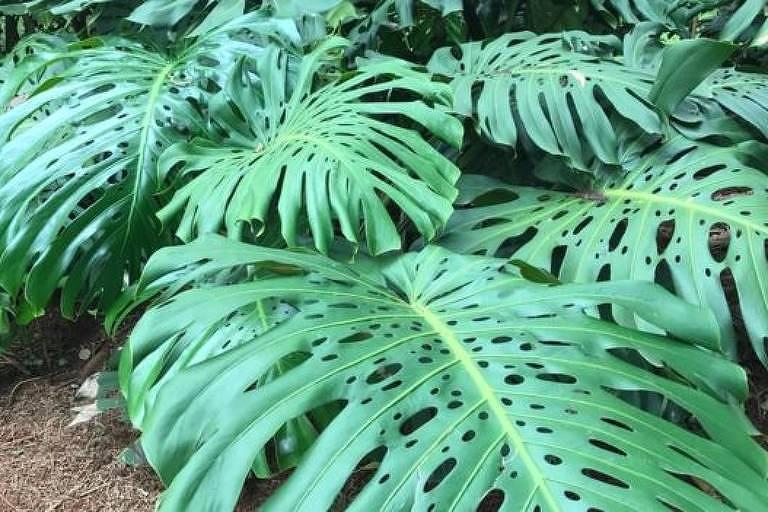 Costela-de-adão é bastante usada no Brasil como planta ornamental