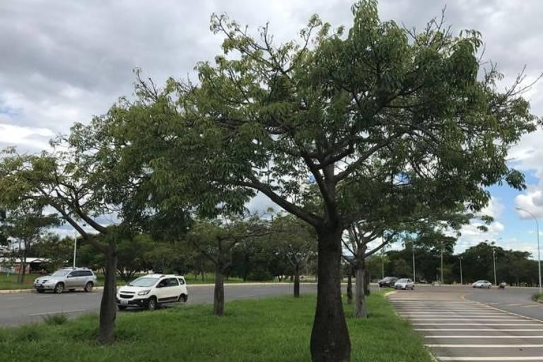 Paineira é muito usada no paisagismo de cidades brasileiras