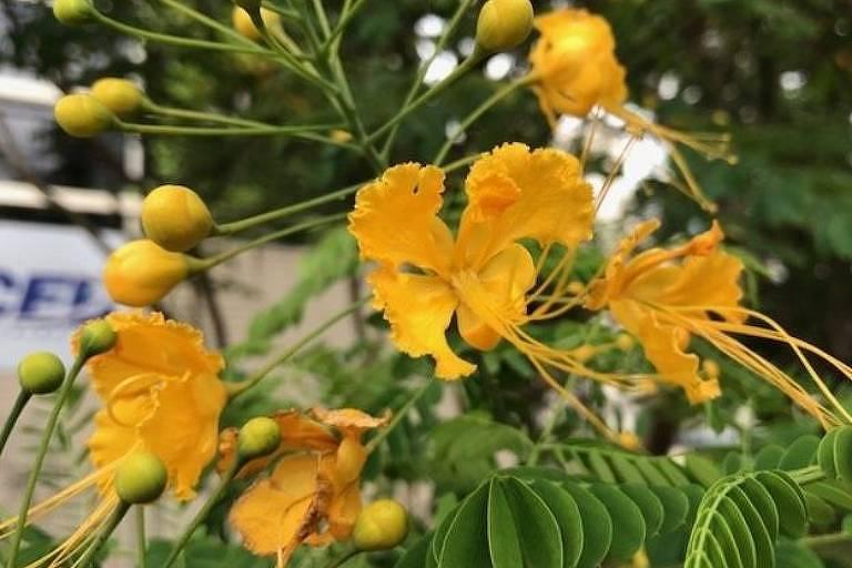 Flamboianzinho pode ter folhas amarelas ou alaranjadas