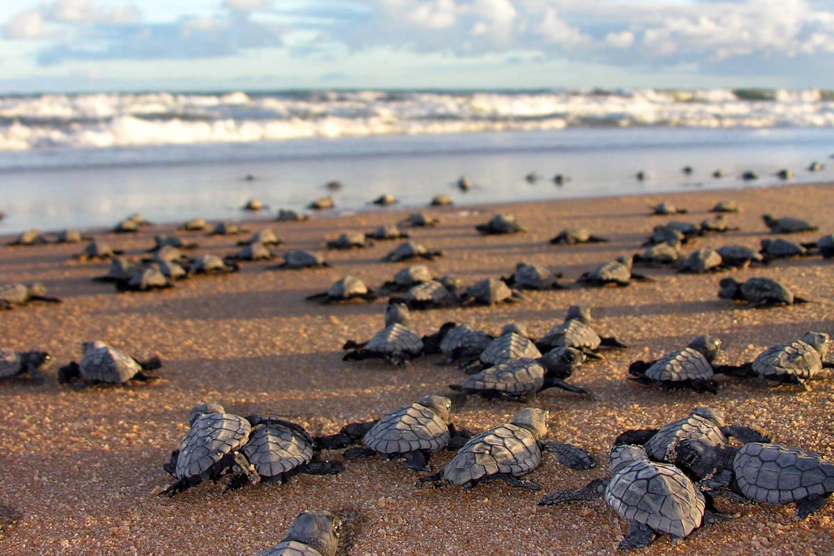 Filhotes de tartaruga correm para o mar na Praia do Forte (BA) em programa do Projeto Tamar que trabalha em iniciativas de pesquisa, proteção e manejo desses animais