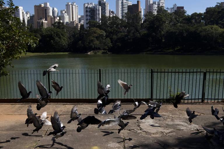 Pombos no parque da Aclimação, em SP