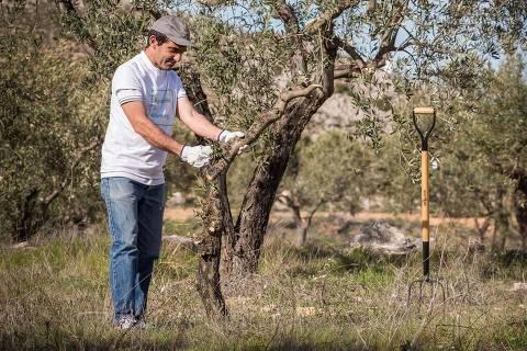 Uma das pessoas que planta oliveiras cuidando da planta