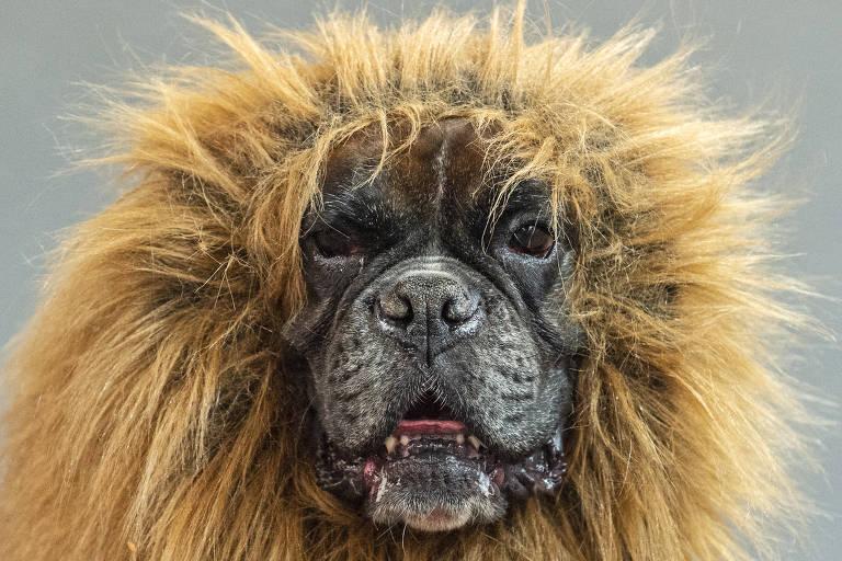 Um boxer com uma juba de leão na Feira de Cães e Gatos em Erfurt, na Alemanha, no dia 16 de junho