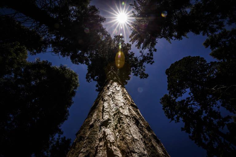 As sequoias gigantes estão de volta