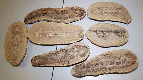 Handout picture released by the Colombian police showing seven fossils seized to a smuggler in Cucuta last year, after the Colombian government delivered them to Brazil, the foreign ministry said in Bogota, Colombia on June 20, 2018.
