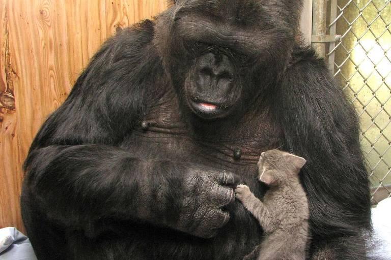 Koko, a gorila que sabe linguagem de sinais