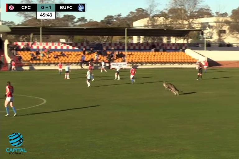 Canguru invade jogo de futebol na Austrália