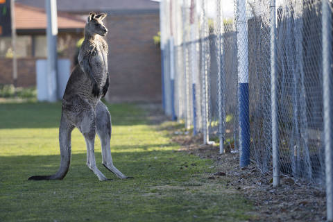 In this June 24, 2018, photo, a kangaroo interrupts the Women's Premier League between Belconnen United and Canberra FC match in Canberra for over 30 minutes. (Lawrence Atkin/Capital Football via AP) ORG XMIT: TKMY804