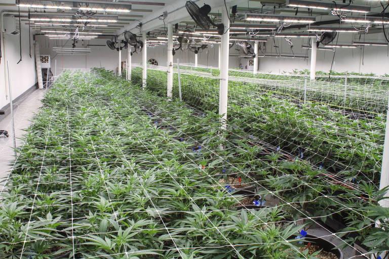 Plantação de maconha em Hillsboro, no estado de Oregon, nos EUA