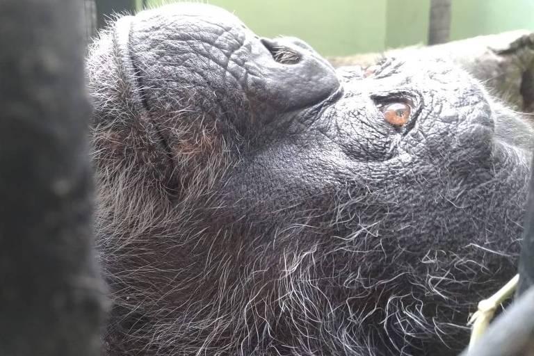 Chimpanzés do RioZoo