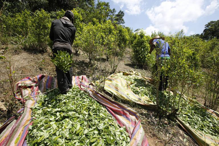 Dois homens aparecem entre arbustos de coca colhendo a planta, que colocam em balaios de pano