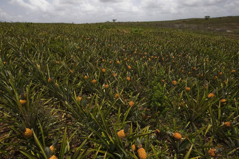 Plantação de abacaxi no Rio Grande do Norte