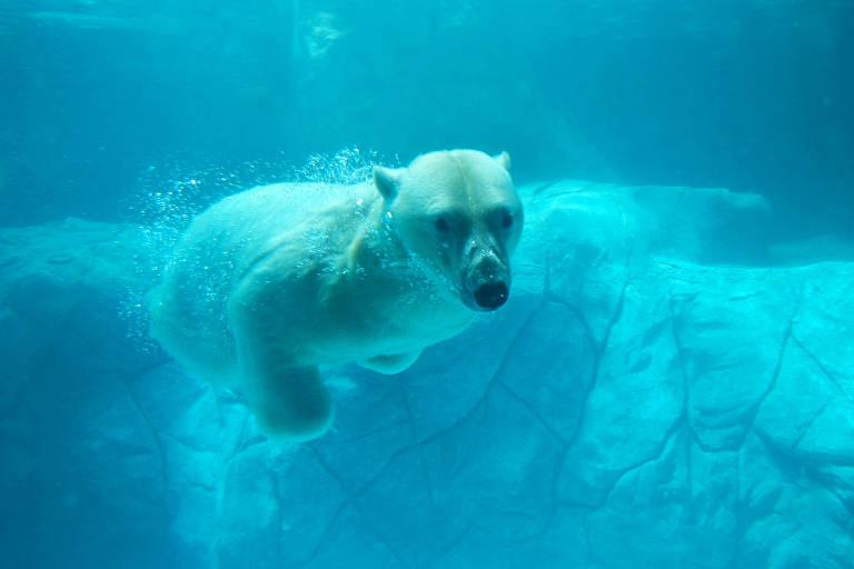 Urso polar no Aquário de São Paulo
