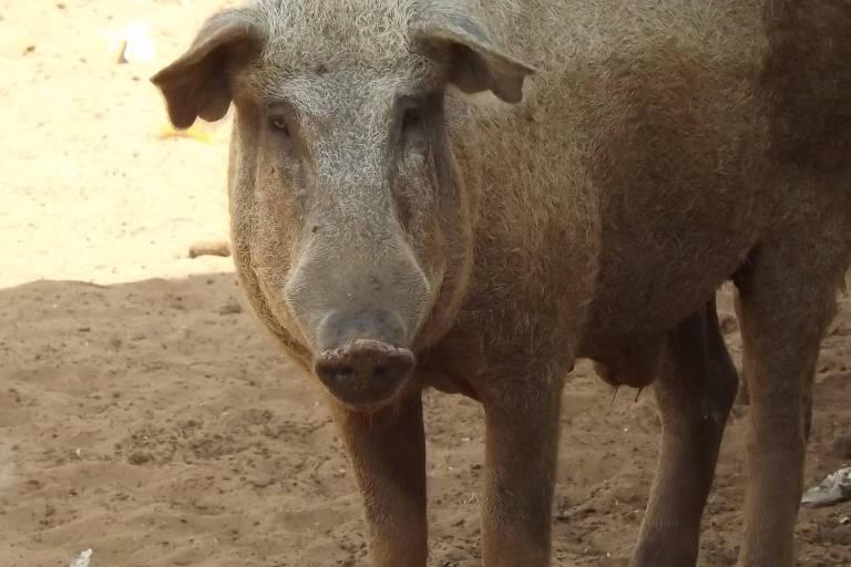 O javaporco, que é uma subespécie animal originária do cruzamento entre o porco doméstico e o javali