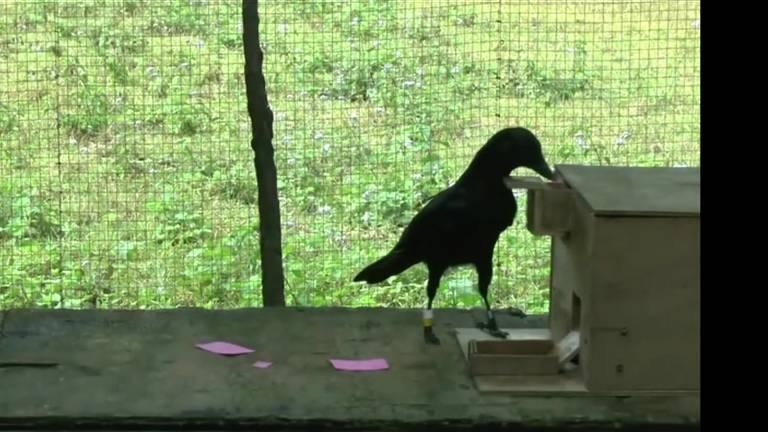Emma, o corvo mais inteligente do mundo