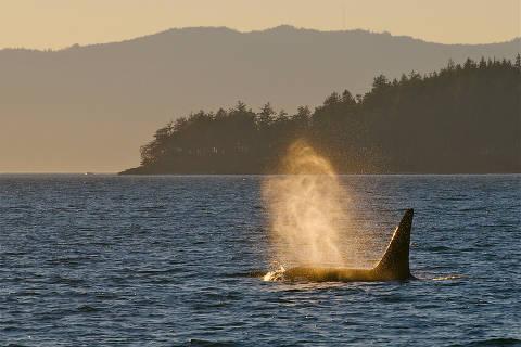 Baleia orca no arquipélago de San Juan, nos EUA