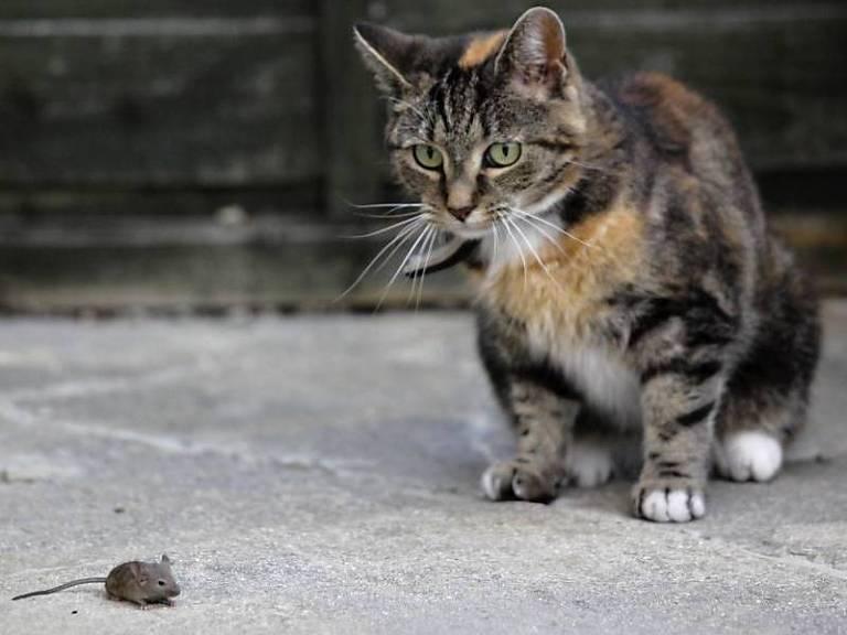 1975: Em briga na roça, rato inverte os papeis da natureza e 'devora' gato