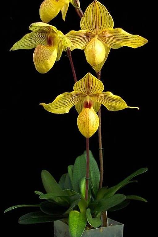 No festival haverá pelo menos 30 tipos diferentes de orquídeas