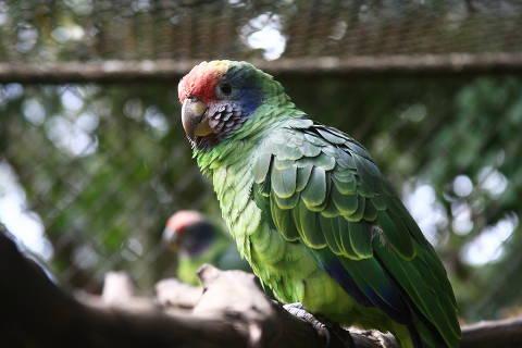 SÃO CARLOS, SP, BRASIL, 23-01-2013, 16h00: Papagaio-da-cara-roxa (Amazona brasiliensis) animal ameaçado de extinção e que se reproduz no parque.Parque Ecológico de São Carlos se consolida como berçário de espécies ameaçadas de extinção.  (Foto: Márcia Ribeiro/ Folhapress, REGIONAIS) *****EXCLUSIVO FOLHA*****
