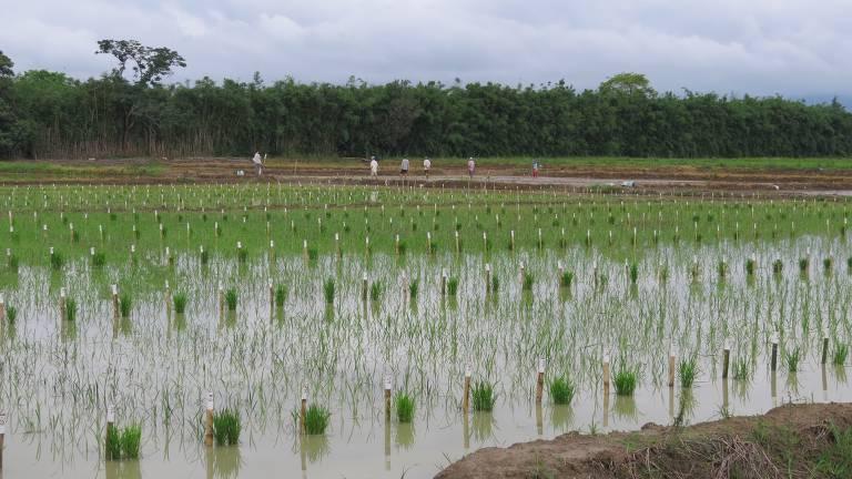 Fazenda de produção de arroz, em Guaratinguetá (SP)