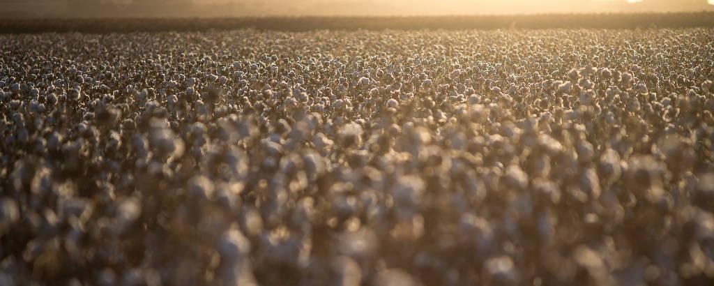 Plantação de algodão, cultura que mais usa agrotóxicos no Brasil