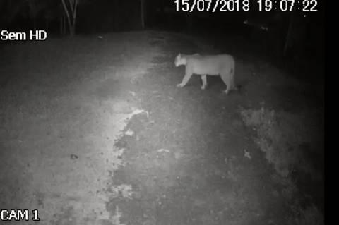 Novo vídeo mostra onça circulando em Cascavel (PR) e zoo é interditado