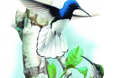 Beija-flor-azul-de-rabo-branco DIREITOS RESERVADOS. NÃO PUBLICAR SEM AUTORIZAÇÃO DO DETENTOR DOS DIREITOS AUTORAIS E DE IMAGEM