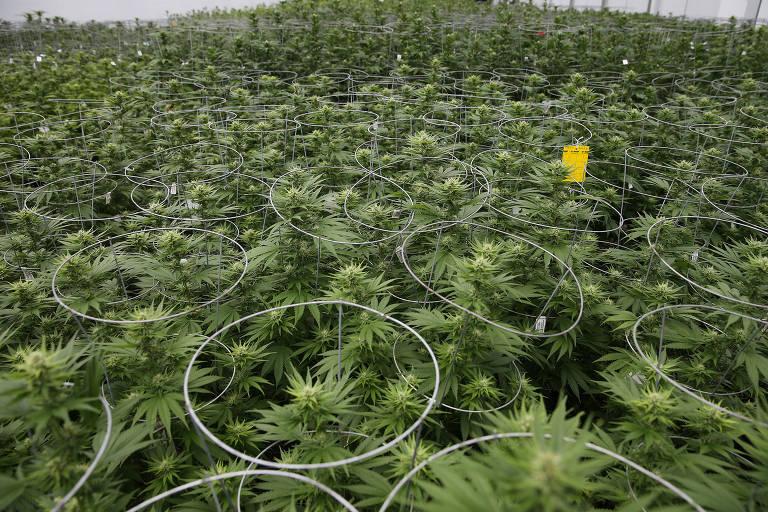 Farmacêutica planta maconha nos EUA