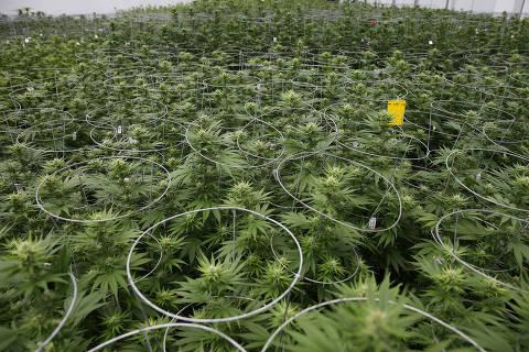 Knox medical marijuana, Orlando, Florida USA. Photo: Alex Menendez / Folhapress
