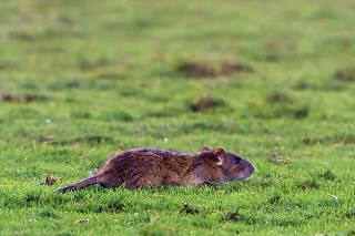 Vasco se defende após 'rato invasor' e diz estar em dia com desratização