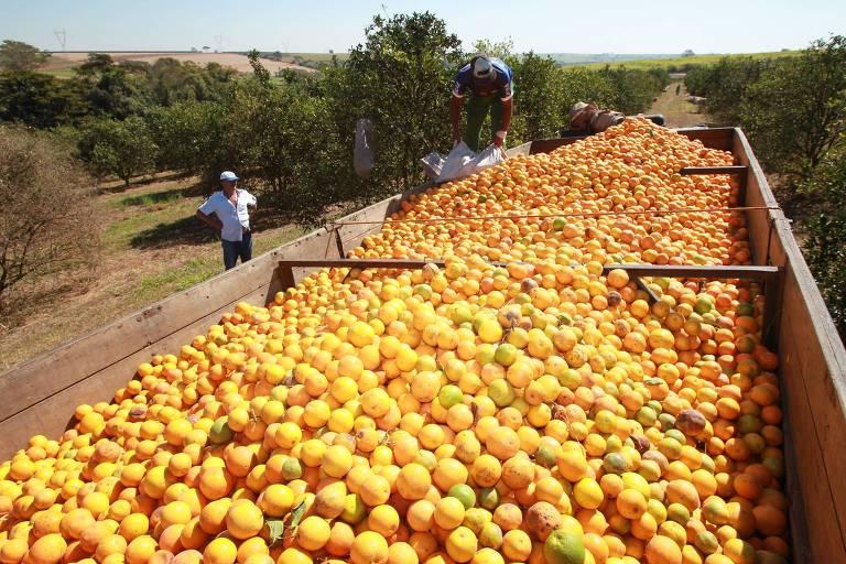 Trabalhadores rurais carregam caminhão com a laranja em  fazenda em Taquaritinga, em São Paulo