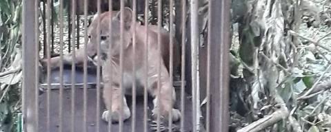 Onça parda macho, de 41 kg e aproximadamente três anos foi capturada nesta terça em Cascavel