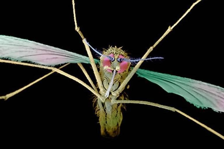Mosquito vetor da malária