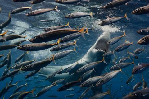 Tubarão-branco abocanha cardume de peixes no mar de Guadalupe, no México
