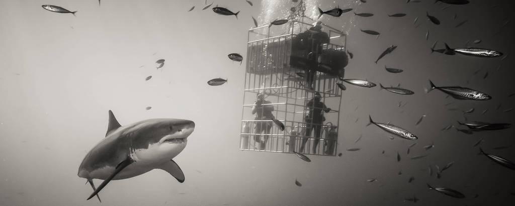 foto preto e branca com tubarão nadando ao lado de gaiola com humanos