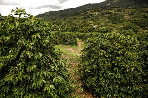 Alfenas, MG, Brasil, 19-02-2018: Plantação de café na região de Alfenas, sul de minas.(Foto  Ricardo Benichio/folhapress)