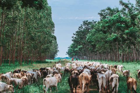 Nova Canaã do Norte, MT, Brasil, 07-12-2017:  Fazenda Gamada, que aplica o método ILPF (integração lavoura-pecuária-floresta). (foto Gabriel Cabral/Folhapress)