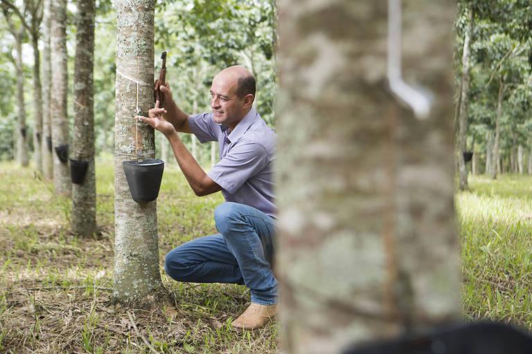 O produtor de látex Luis Murbach, agachado, extrai látex da seringueira em sua fazenda em Corumbataí (SP)