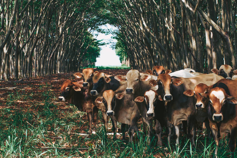 Cercado por árvores, bois pastam na Fazenda Gamada, em Nova Canaã do Norte, no Mato Grosso