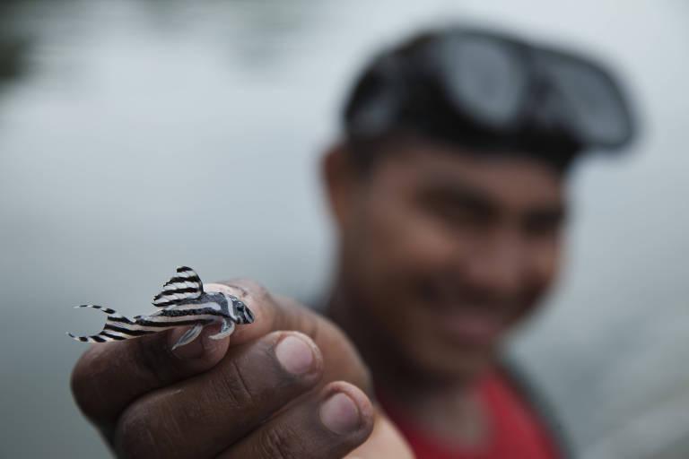 Pescador mostra exemplar da especie de acari-zebra capturado nos pedrais na Volta Grande do rio Xingu