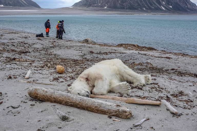 Homem é hospitalizado e urso abatido após ataque no Ártico