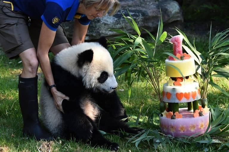 O filhote de panda Yuan Meng comemora aniversário de um ano