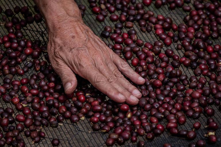 Colheita do café na Fanzenda Uchoa, na cidade de Guaramiranga, no interior do estado do Ceará