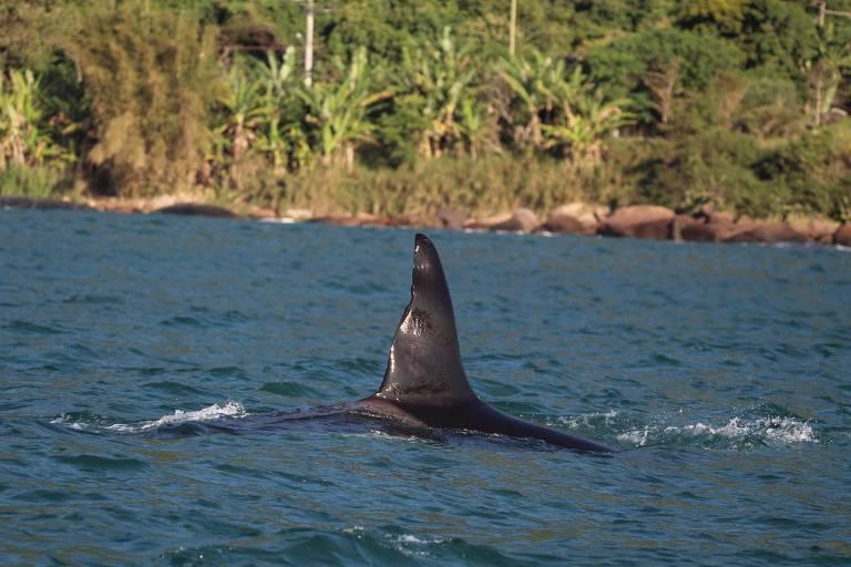 Ambientalistas da região não sabem o que pode ter motivado o surgimento de tantas orcas no local