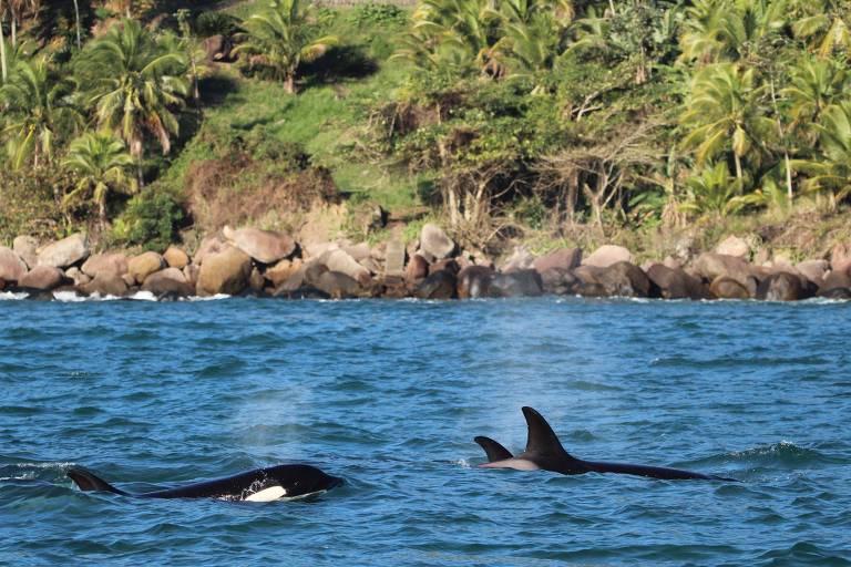 Grupo de orcas, animal da mesma família dos golfinhos, é avistado em Ilhabela na tarde desta sexta-feira (10)