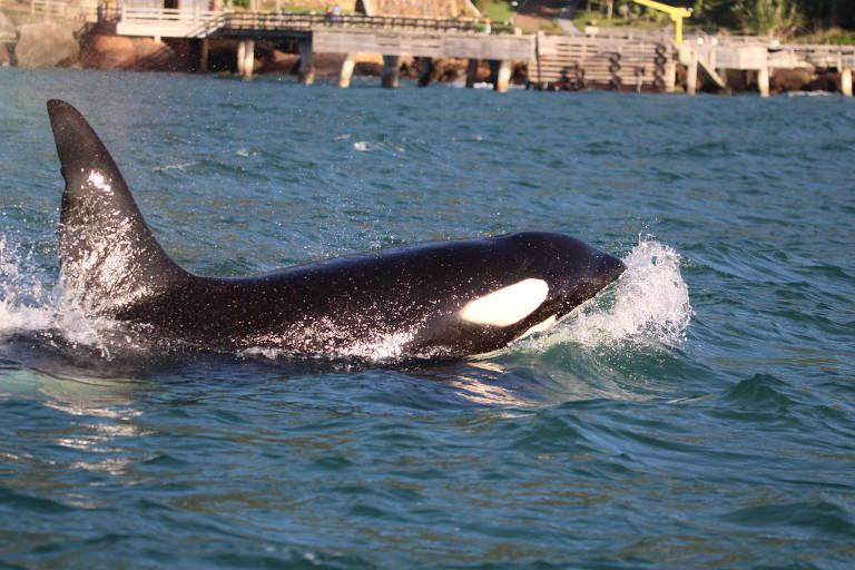 As orcas surgiram no canal de São Sebastião por volta das 15h e nadaram por várias horas em frente à praia do Curral, até o anoitecer