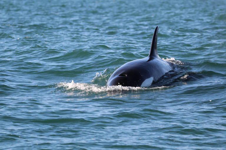 Desde o mês de julho, pesquisadores estimam que cerca de 60 a 70 baleias já foram avistadas no canal de São Sebastião, no litoral norte de SP