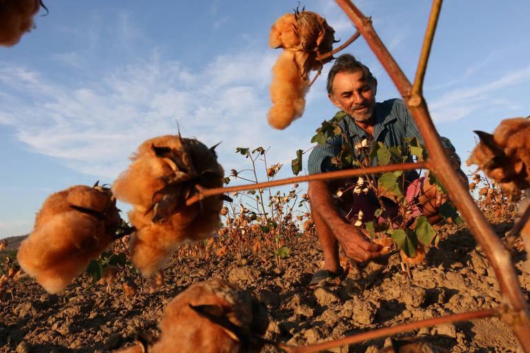 Cultivo de algodão orgânico na Paraíba, usado pela empresa Santa Luzia em redes, mantas e almofadas