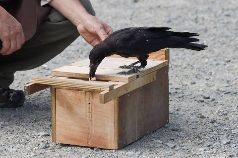 A crow drops a cigarette end in a box in exchange of food on the parking of Le Puy du Fou, in Les Epesses, western France on August 14, 2018. - Six crows specially trained to pick up cigarette ends and rubbish were put to work last week at a French historical theme park. (Photo by SEBASTIEN SALOM GOMIS / AFP)